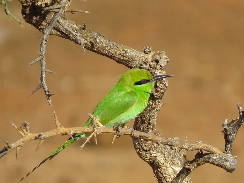 African Green Bee-eater (Jeff Marks, photo)