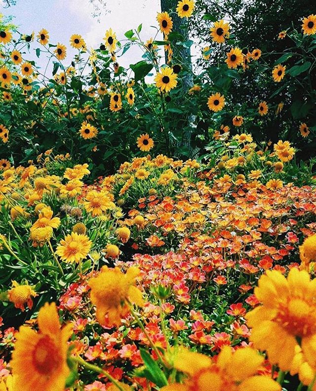They don't call it the Color Garden for nothing. 🌻🌸 - @cheekwood via @shy_in_nature #cheekwood #nashville #flowers • . . . . . #nashvilletn #nashvillestyle #nashvillebloggers #nashvillephotographer #florals #flowerstagram #flowerpower🌸 #pictureperfect #visitnashville #weekendvibes #fifthandb #fifthandbroadway #nashvillethebeautiful #photography #instanashville #beauty #summerdays