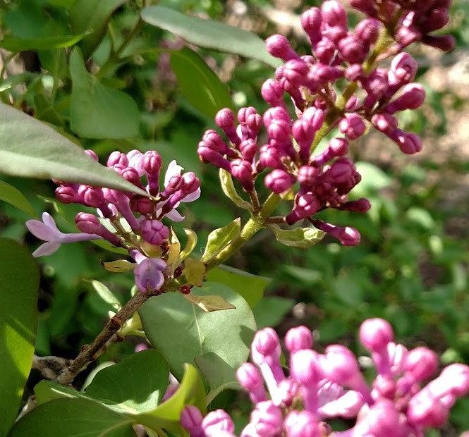 Lilac #2.jpg