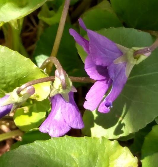 Old Fashioned Violet #1.jpg