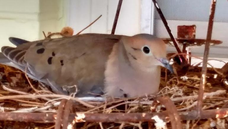 Mourning Dove #2.jpg