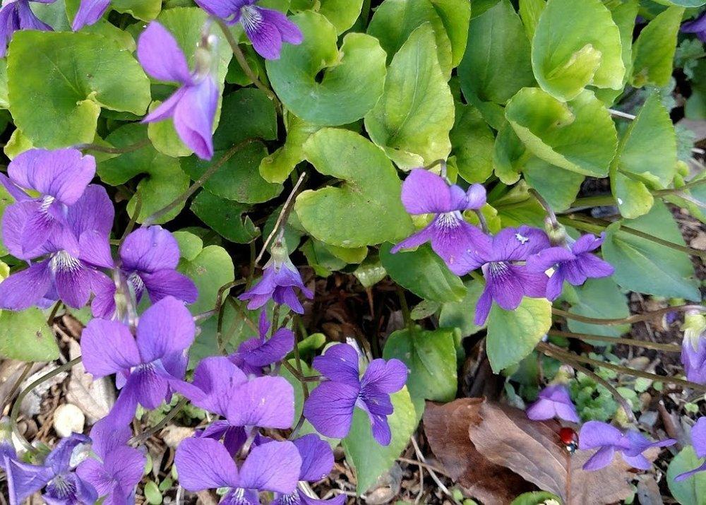 Old Fashioned Violets #4.jpg