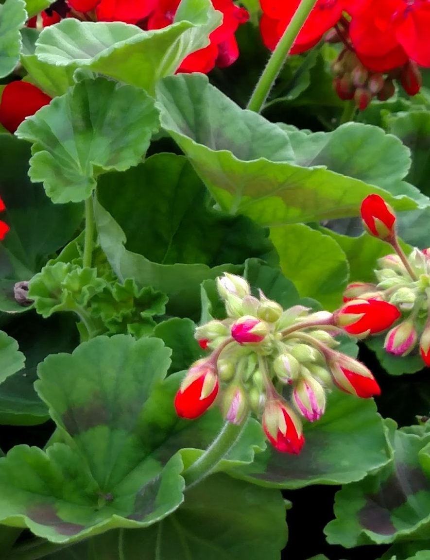 GERANIUMS UP CLOSE #2.jpg