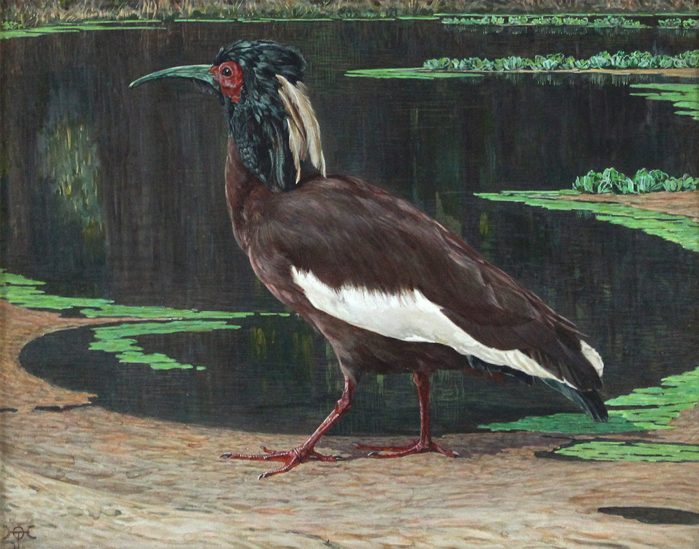 Harry Hamilton Johnston (British 1858-1927) No.1 Ibis