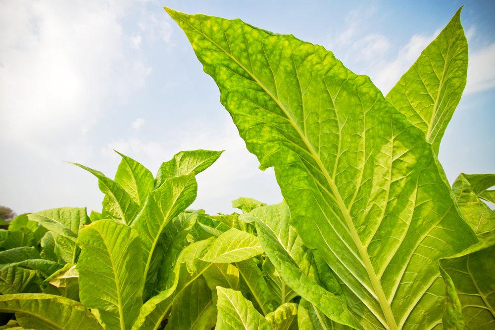 Leaf .jpg