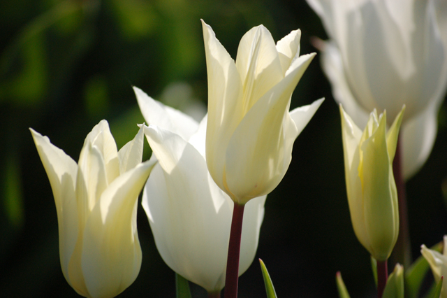 Spring flowers plantpassion seasonal scented sustainable cut spring flowers tulip white triumphatorg mightylinksfo