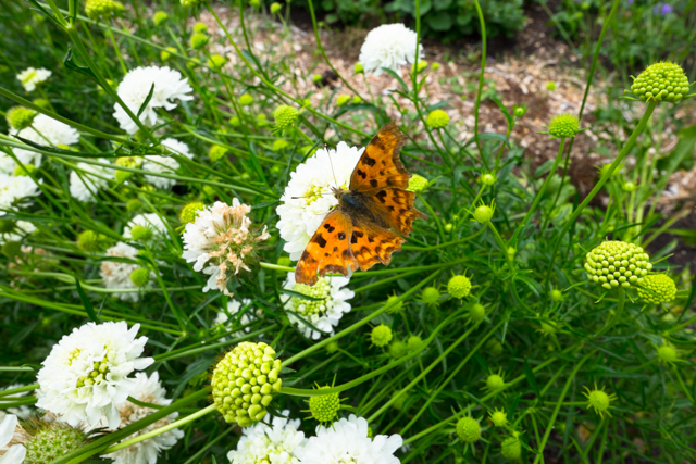 butterfly on scabious.jpg