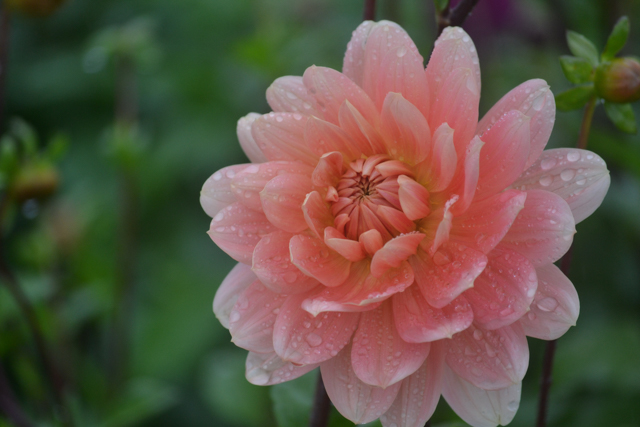 autumn flowers - peach dahlia.jpg