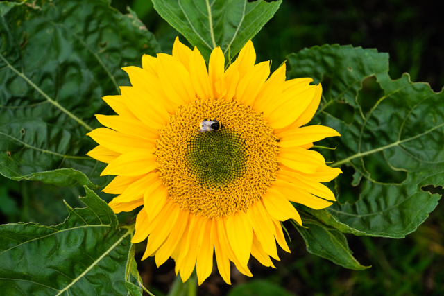Bee loving Sunrich Gold Sunflower - Photo by Emma Davies