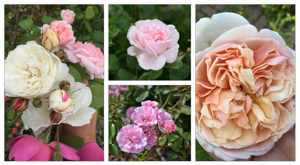 Current roses. - Cream abundance, Eglantyne, Bonica, and Sweet Juliet