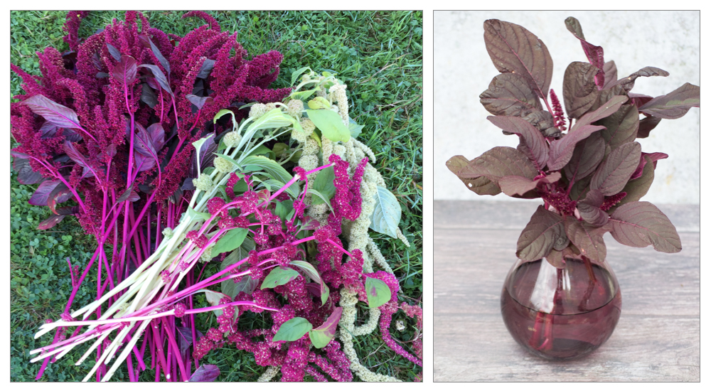 Amaranthus red army, and caudatus, which are grown on the vegetable patch, as well as the flower garden.