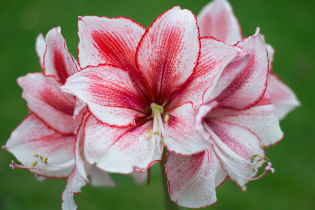 Hippeastrum at perfect flowering stage for Christmas with 6 flowers