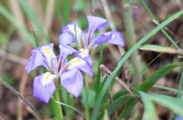 January 1st Iris Unguicularis flowering in the garden