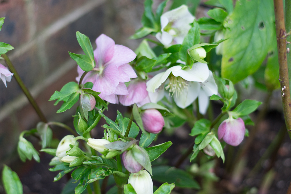 Hellebore buds and flowers.jpg