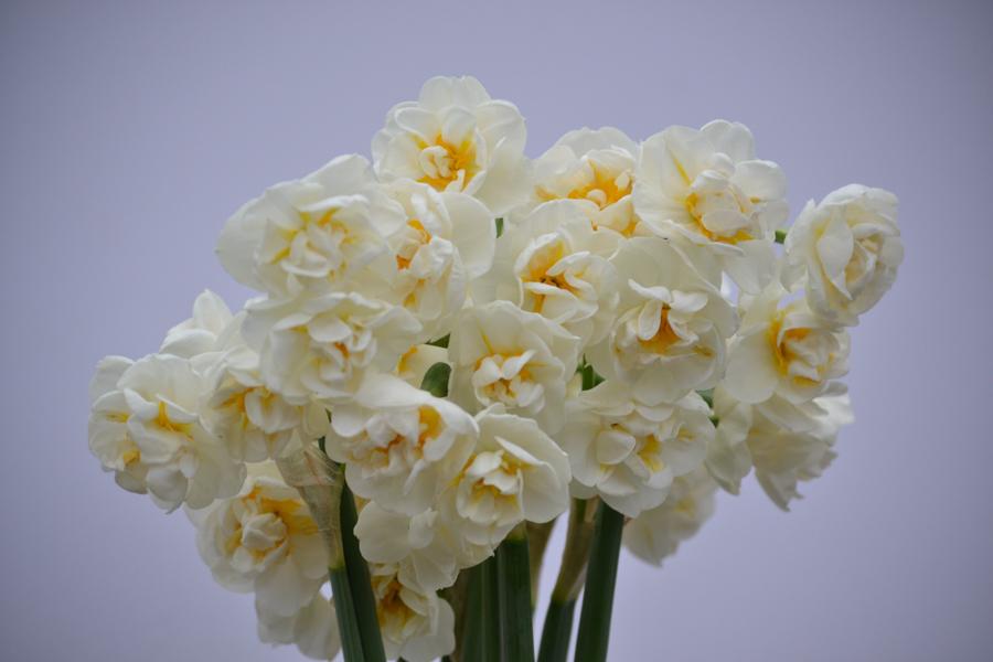 Bridal crown narcissus-2.jpg