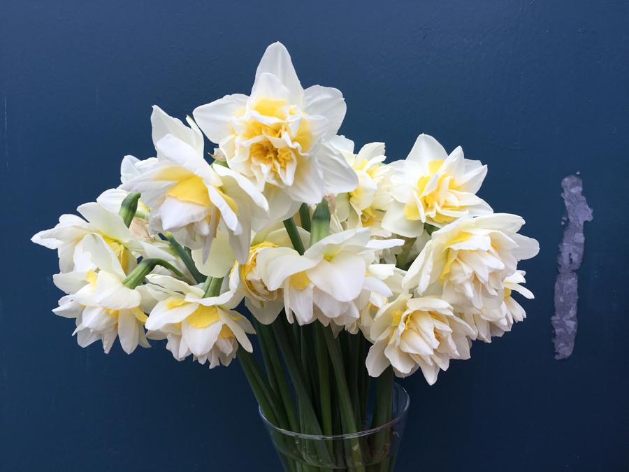White Lion daffodils.jpg