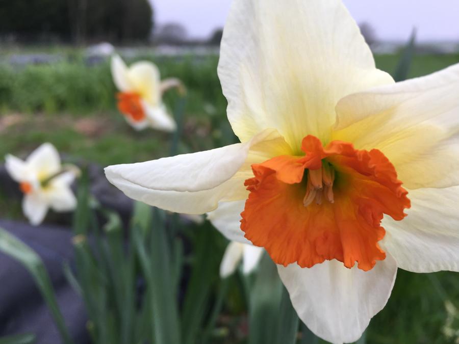 Actea Narcissus.jpg