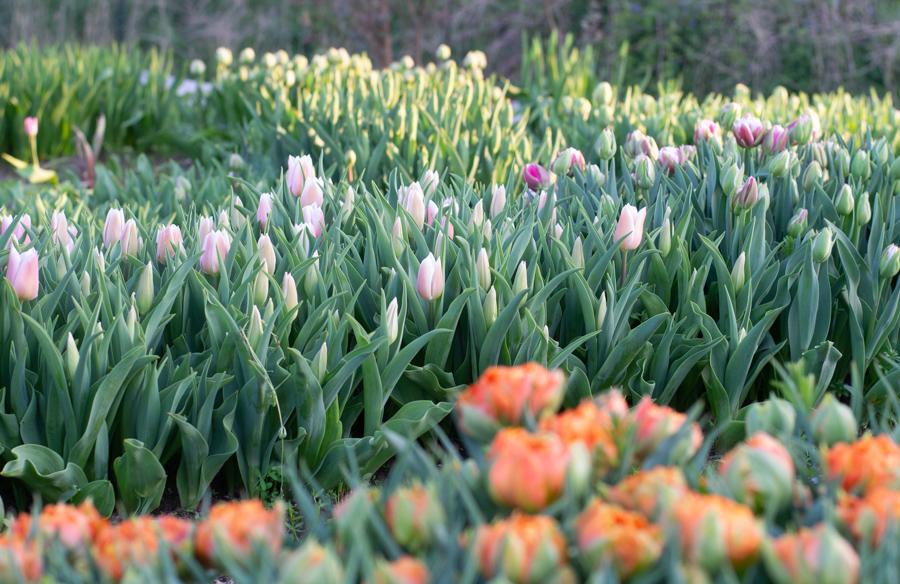 Rows of Tulips.jpg