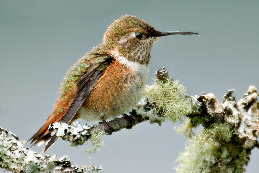 Rufous_Hummingbird_08_JC_012.jpg