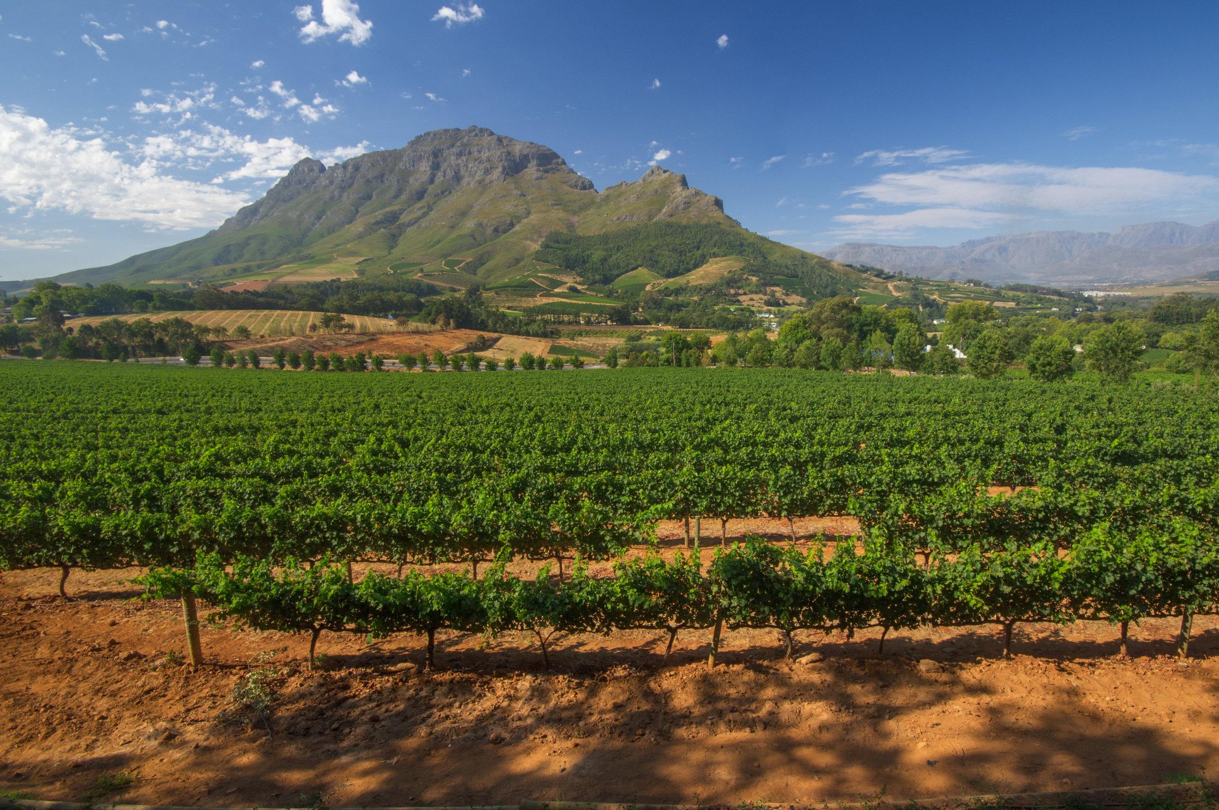 Stellenbosch Vineyard, Western Cape, South Africa