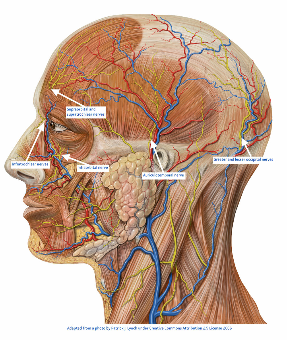 Figure 2. Nerves of the head and face that may cause neuropathic pain. If these nerves are tender on palpation they may be the source of localised head and facial pains.
