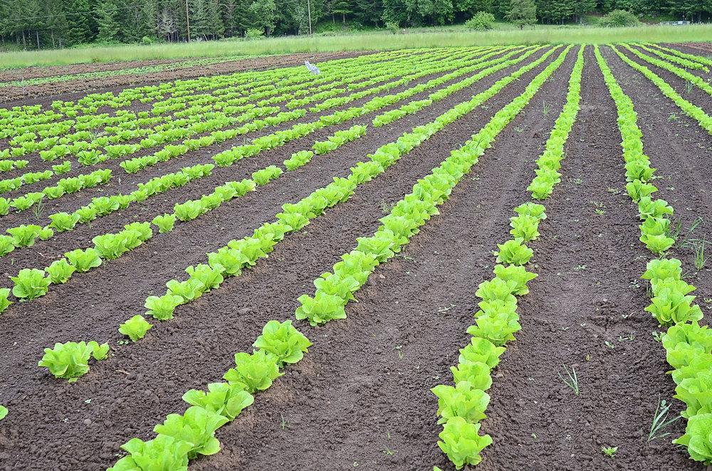 lettuce-seed-crop-6-22-16.jpg