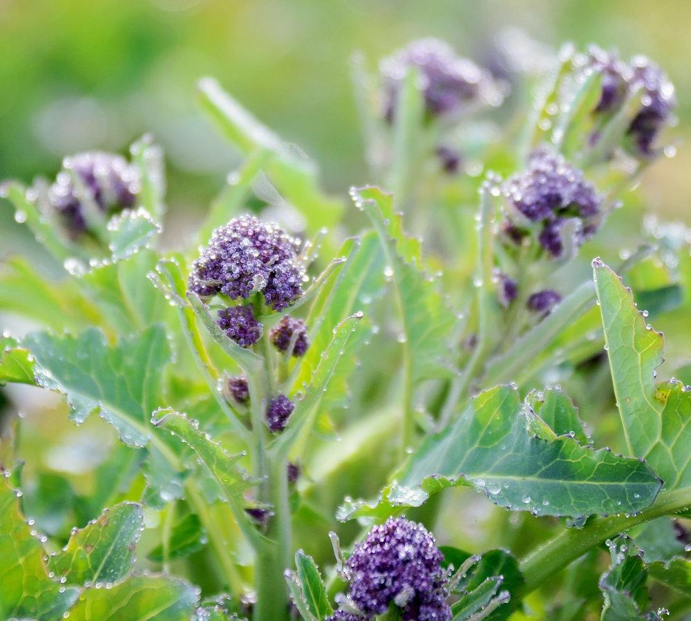 Broccoli-3-10-15.jpg