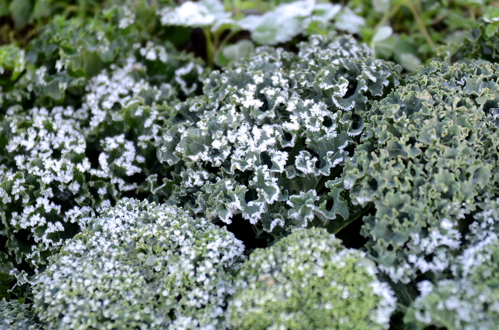 Kale after a deep frost: December 2013