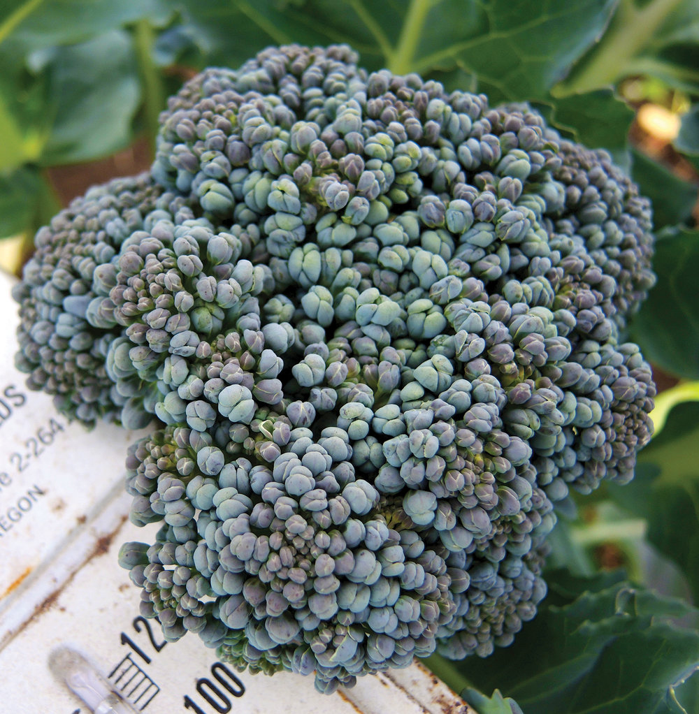 Umpqua broccoli