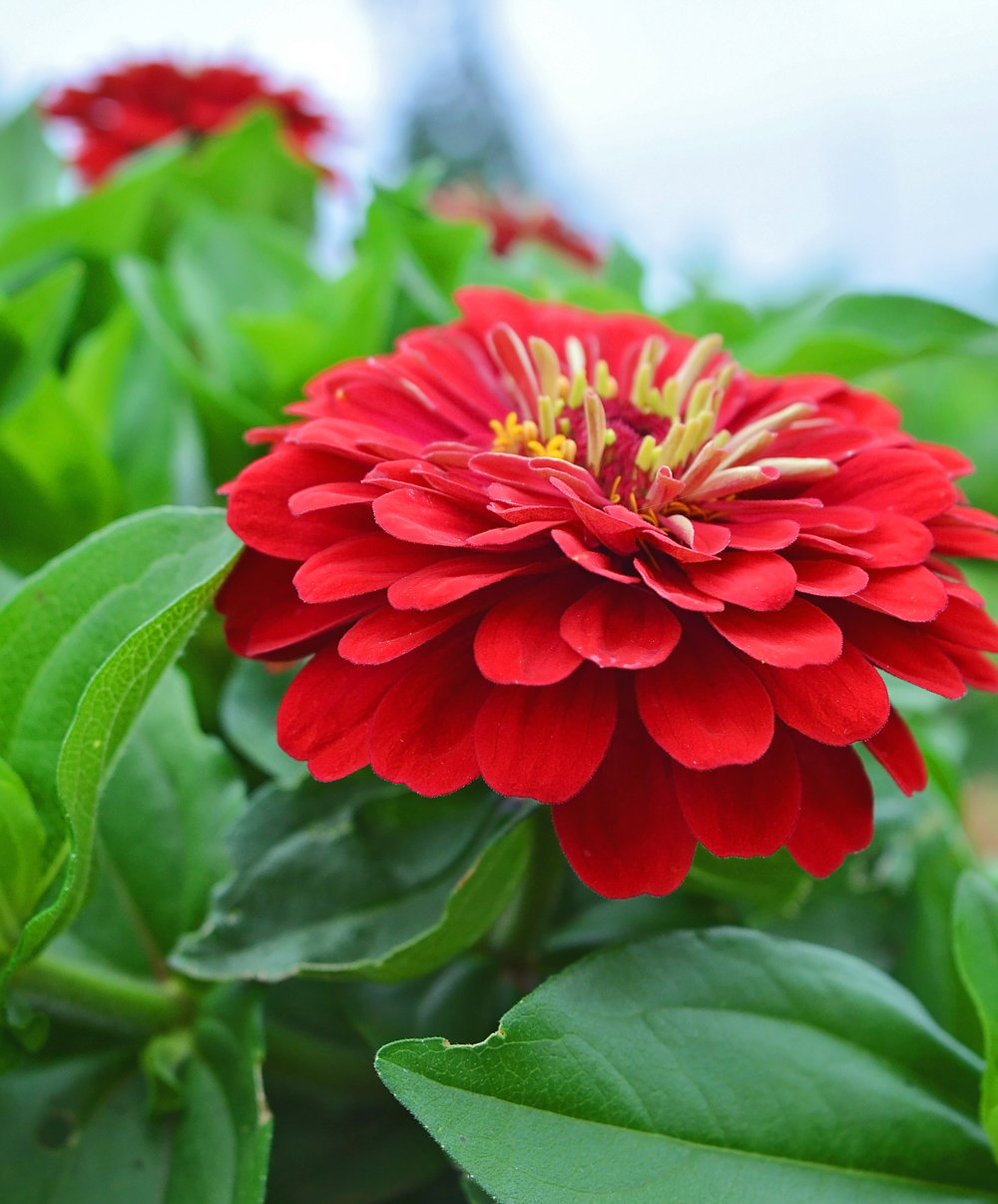 zinnia-flower-trials2-07-25-16.jpg