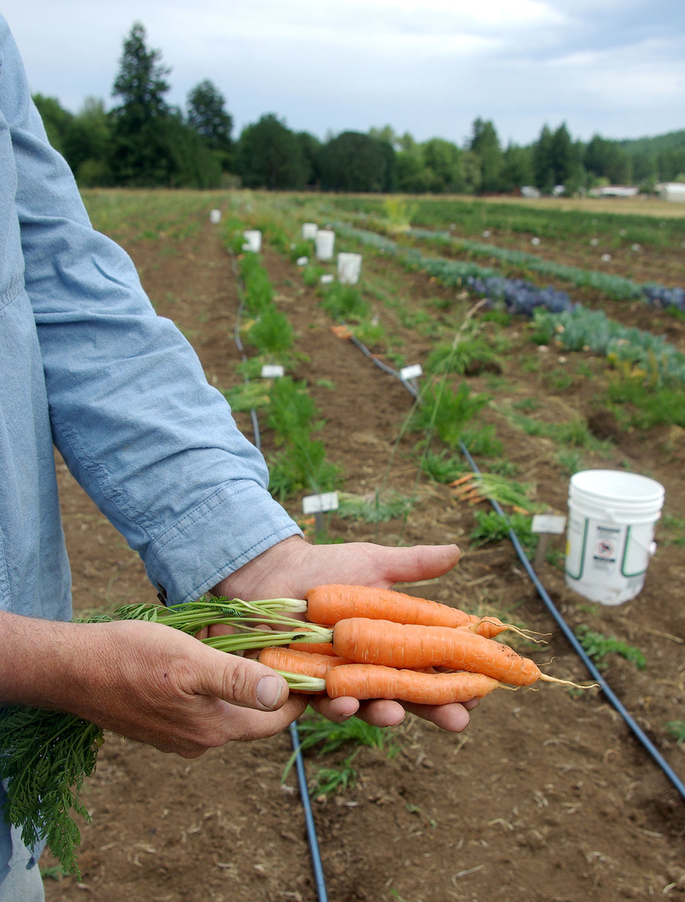 carrot-trials-2013.jpg