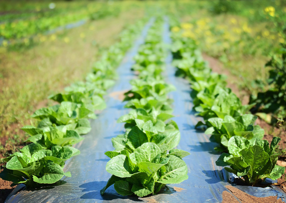 Lettuce-Seed-Crop-05-14-14-(37).jpg