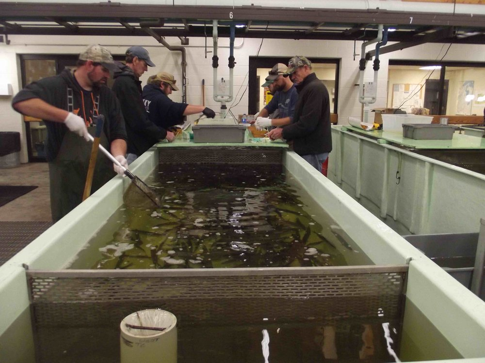 Mike Persson and Allen Hoeft loading pit tags at the WDNR hatchery in Spooner for tagging extended growth musky.