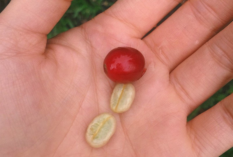 A coffee cherry, along with its seeds