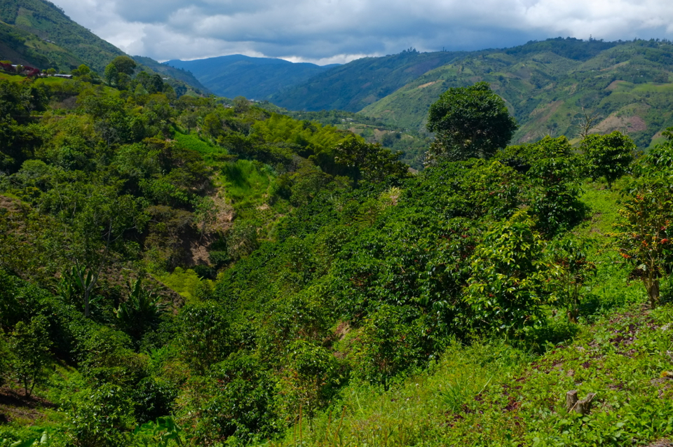 Coffee farm in the Huila region of Colombia