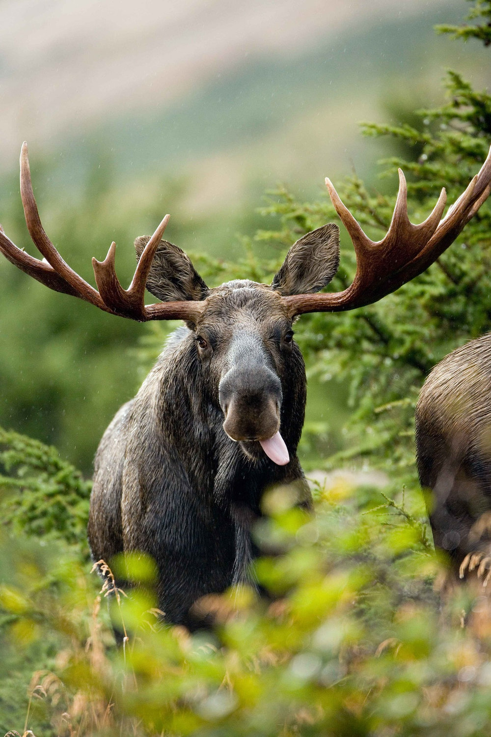 Bull moose with large rack eating in Anchorage