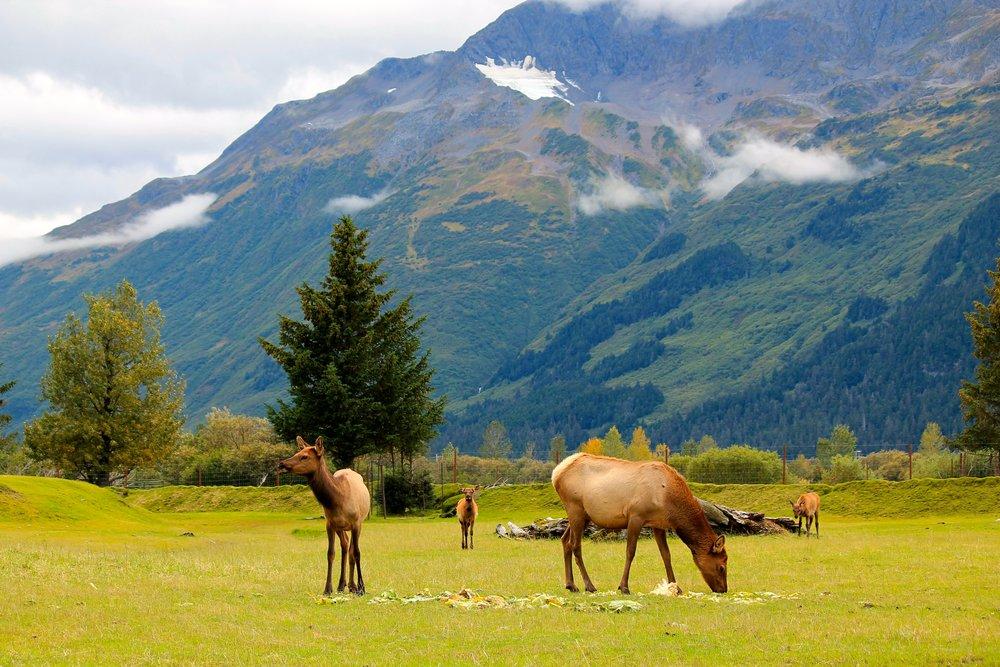 Viewing caribou in Alaska
