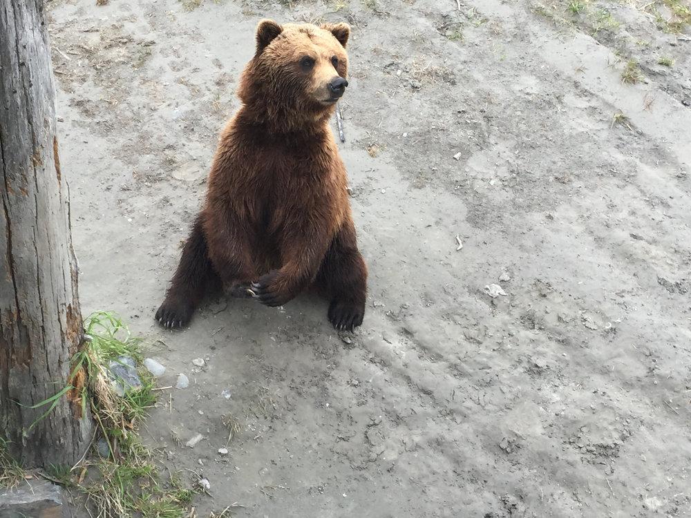 Bear at Alaska Wildlife Conservation Center