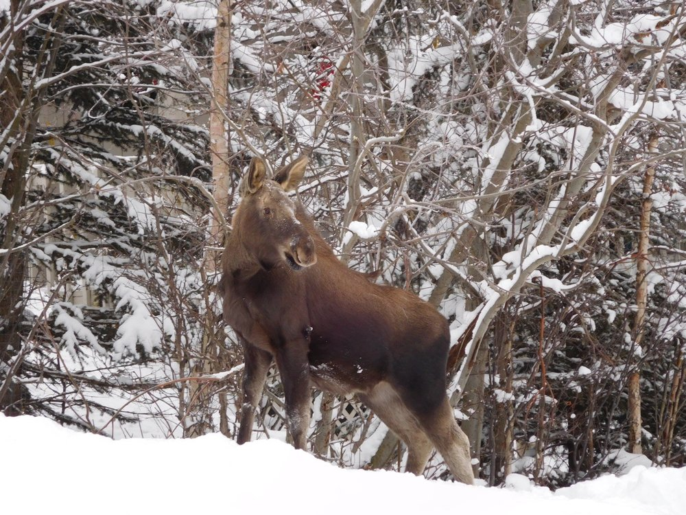 Moose on hill in winter looking around