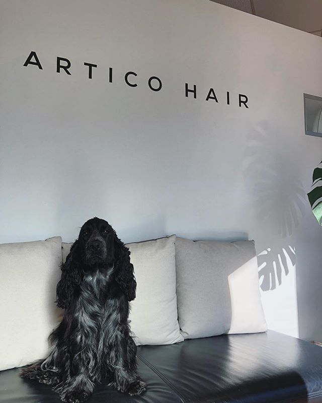Our little salon pup is here 🐶 . . . .  #perthhairdresser #articohairperth #cambrigestreet #floreat #salonpup