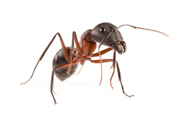 Camponotus intrepidus
