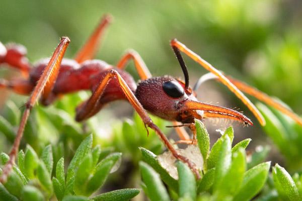 Myrmecia nigriscapa
