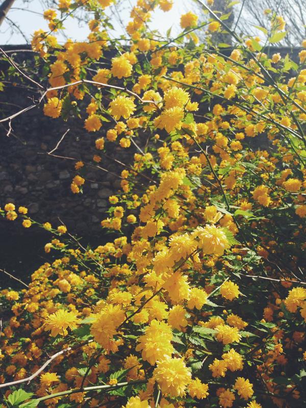 kerria-japonica.jpg