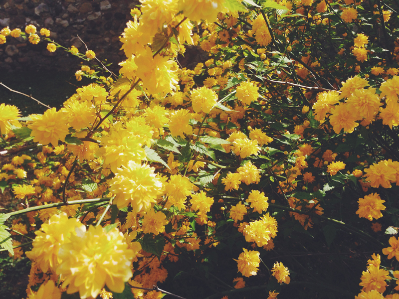 kerria-japonica_2.jpg
