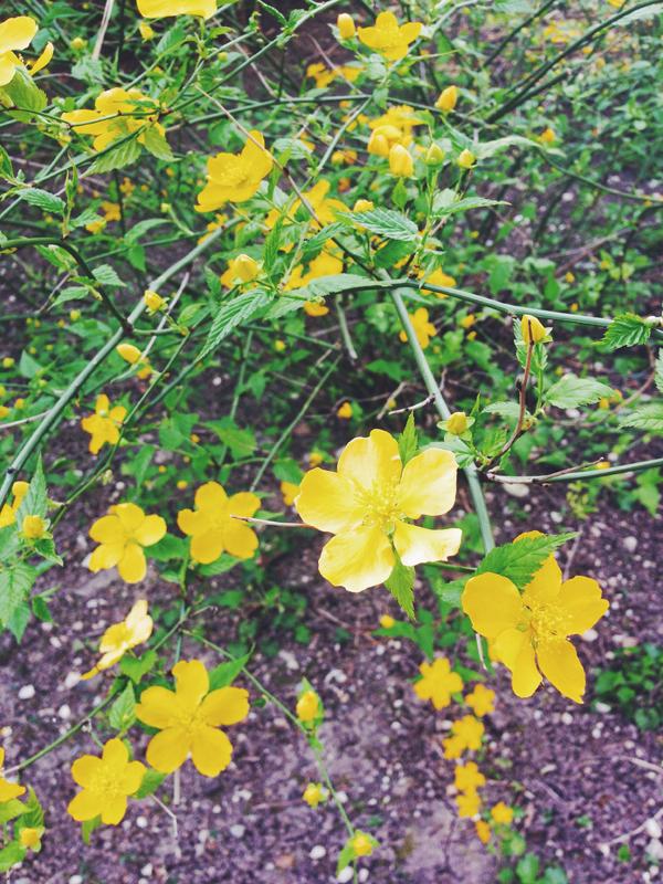 kerria-japonica-selvatica.jpg