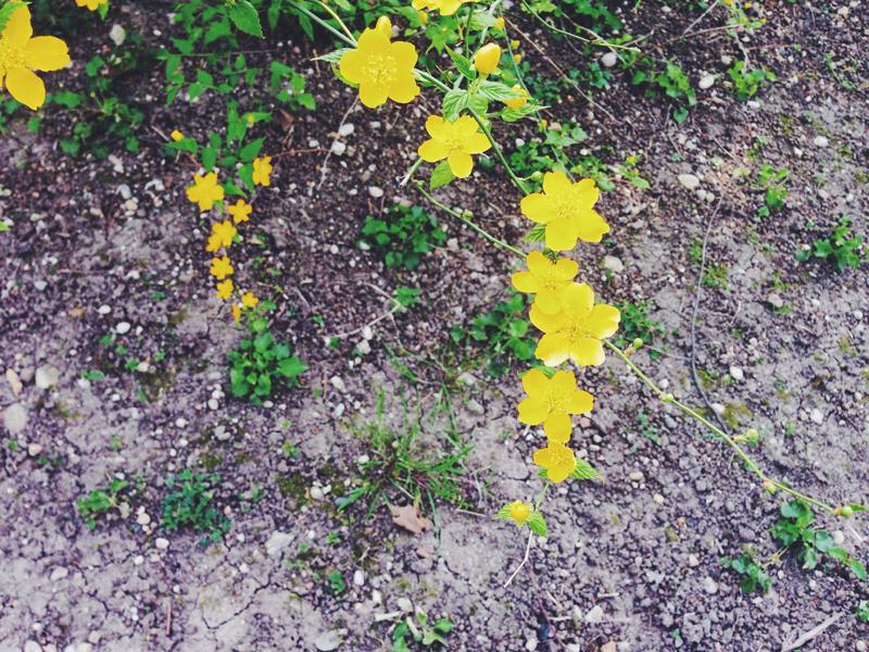 kerria-japonica-selvatica_2.jpg
