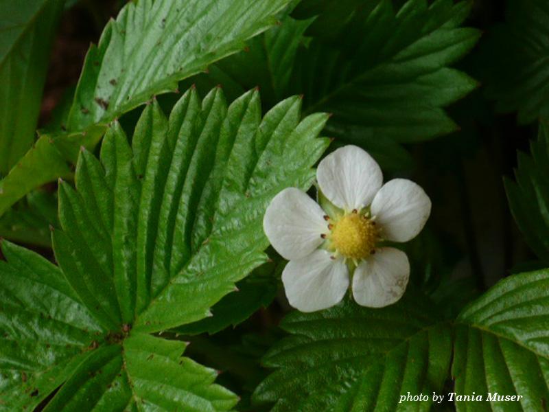 fiore-fragola.jpg