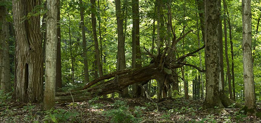 Forest Stone Eater - 1 +.jpg