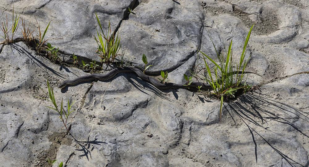 Creek Snake - 1.jpg