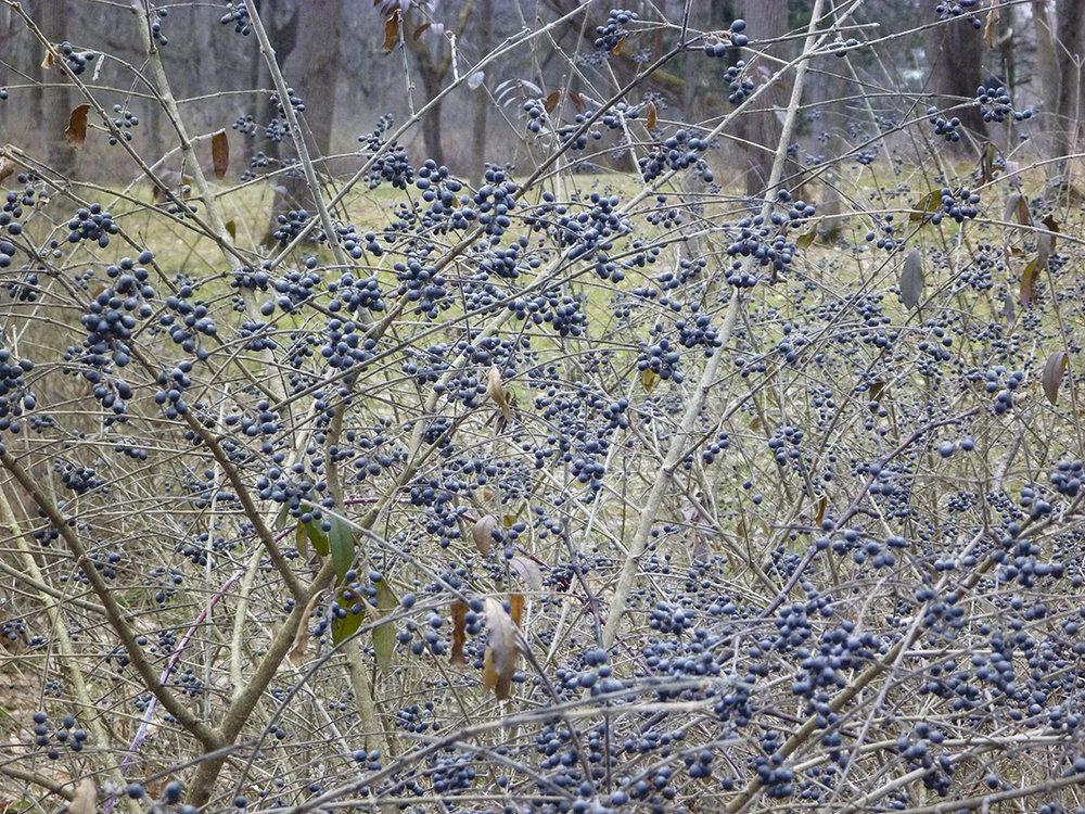 Dark Berries.jpg